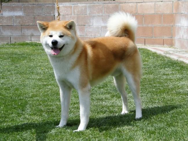 Акита-ину собака из фильма Хатико