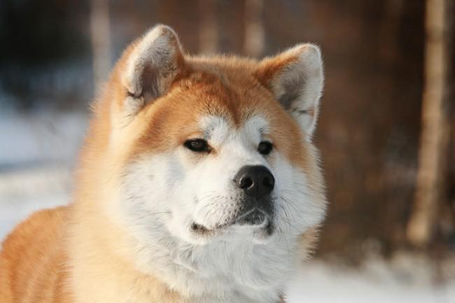 Акита-ину фото собаки
