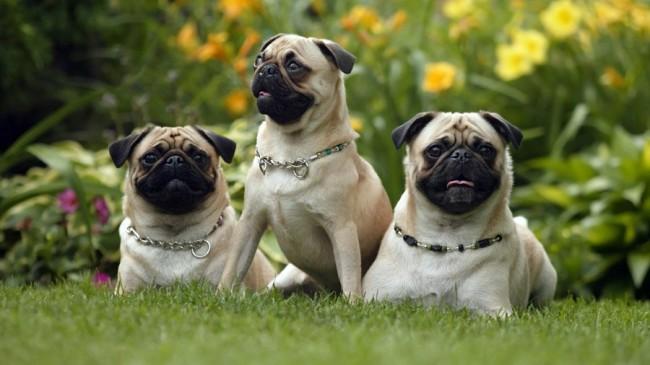мопс - короткошерстные породы собак с фото