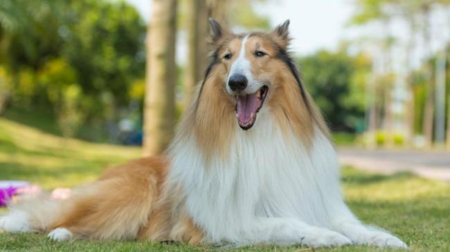 колли - породы собак с фотографиями