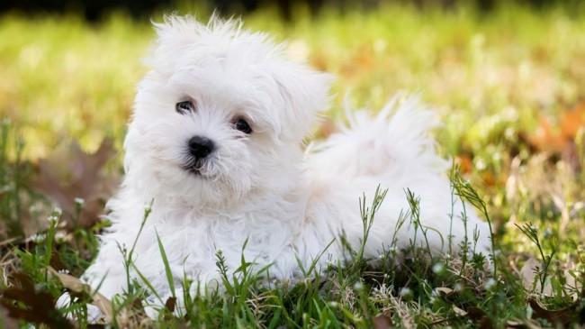 мальтийская болонка - длинношерстные породы собак