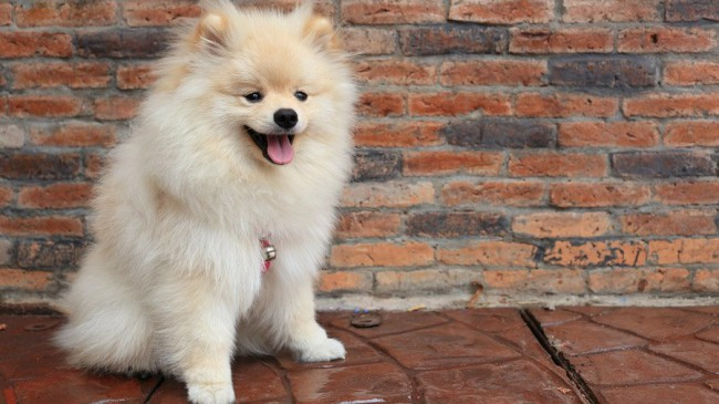 померанский шпиц - собаки с описаниями и фото