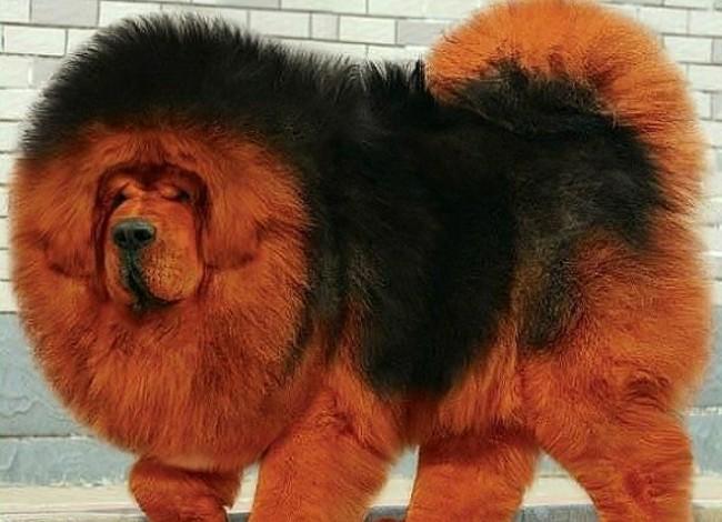 дорогая порода собак тибетский мастиф фото