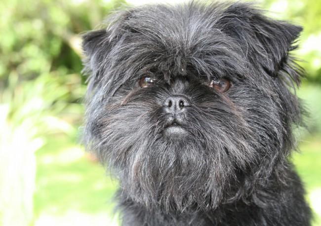 аффенпинчер жесткошерстная порода собак