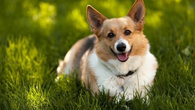 собака королевы - вельш корги
