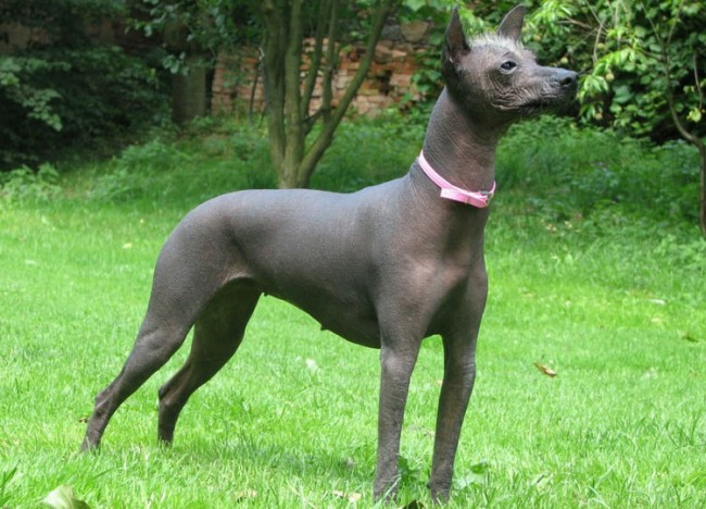 Перуанская голая собака фото
