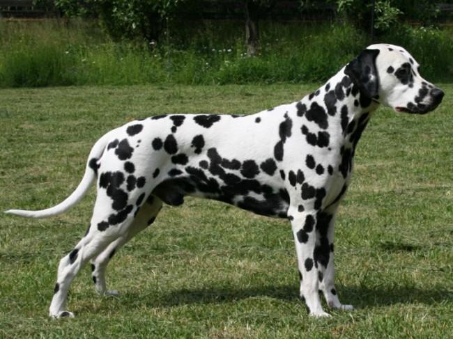 собака далматин фото