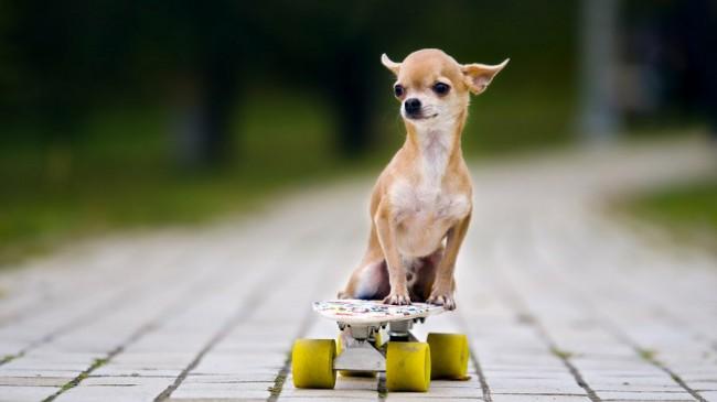 щенок чихуахуа фото